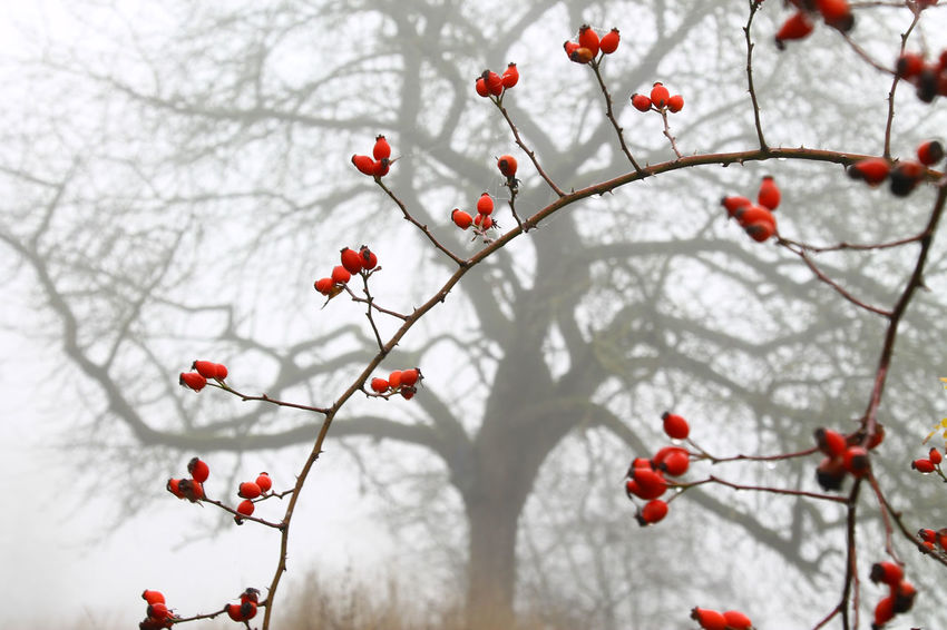 Autumn Beauty In Nature Branch Foggy Morning Hagebutten Mist Nature Plant Red Red And Gray Tree