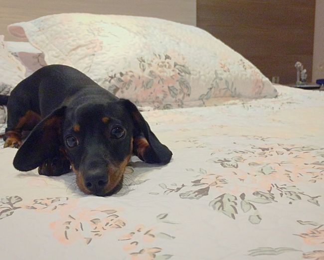 Capitu. Dog Pets One Animal Indoors  Doxie Bed Animal Themes Home Interior Bedroom Mammal Looking At Camera Portrait Relaxation No People Close-up Day