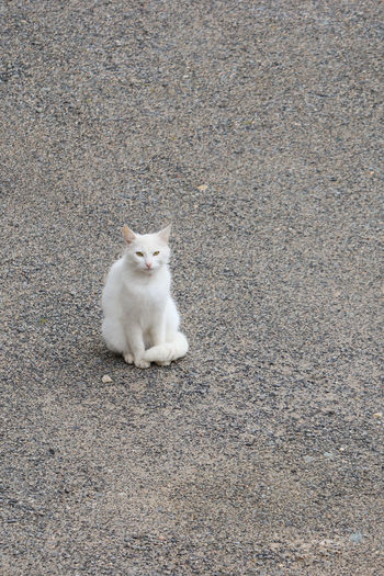 High angle portrait of cat sitting on road