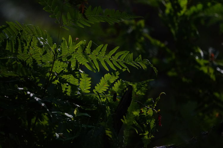 Beauty In Nature Botany Close-up Coniferous Tree Day Fern Focus On Foreground Forest Green Color Growth Land Leaf Light And Shadow Nature No People Outdoors Plant Plant Part Selective Focus Sunlight Tranquility Tree