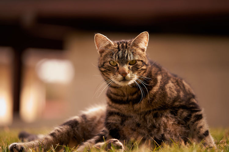 Domestic Cat Mammal Pets Domestic Cat Domestic Animals Feline One Animal Portrait Looking At Camera No People Focus On Foreground Whisker Young Animal Tabby Sitting Close-up First Eyeem Photo