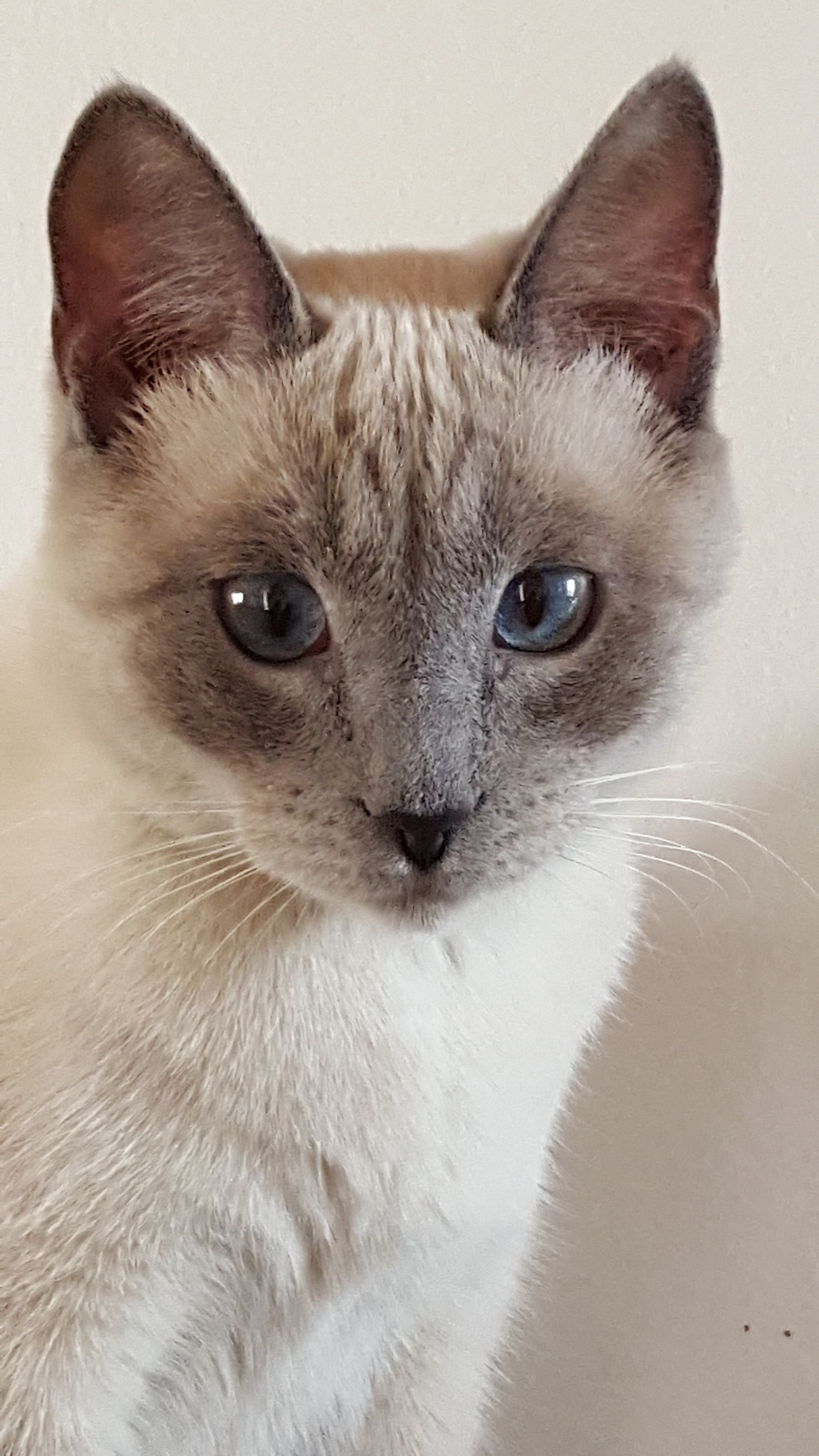 domestic cat, pets, domestic animals, feline, animal themes, portrait, cat, one animal, mammal, whisker, looking at camera, animal head, indoors, no people, kitten, siamese cat, close-up, white background, day