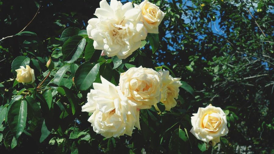 Nature Flowers Sunny☀ Roses Gently