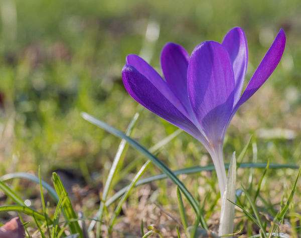 Crocus Flower Beauty In Nature Blooming Close-up Crocus Crocuses Crocuses Spring Crocusesinbloom Day Field Flower Flower Head Focus On Foreground Fragility Freshness Grass Growth Nature No People Outdoors Petal Plant Spring Spring Flowers Springtime