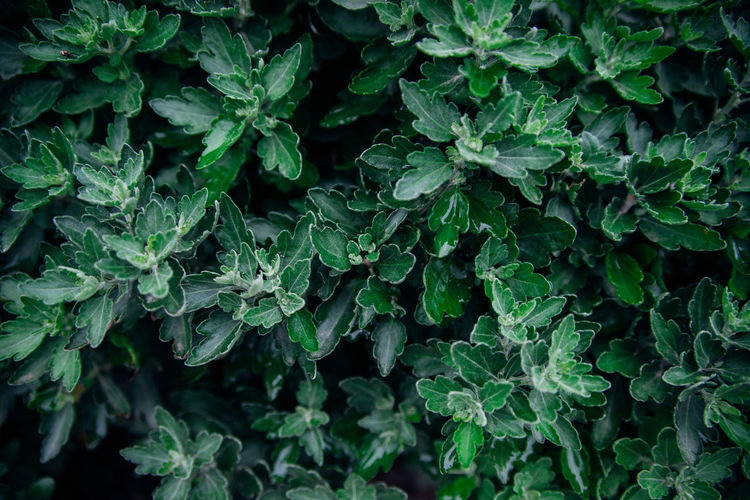 Background of chrysanthemum flower leaves. green carved leaves grow densely in the bush.