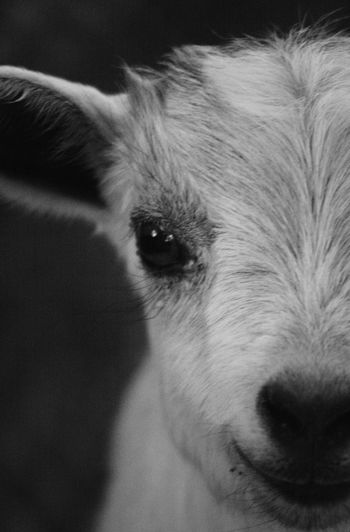 Farm Animal Farm Goat Indoors  Domestic Mammal One Animal Pets Animal Animal Themes Domestic Animals Close-up Animal Body Part Portrait Vertebrate Looking At Camera Indoors  Animal Head  No People Animal Hair Hair Eye