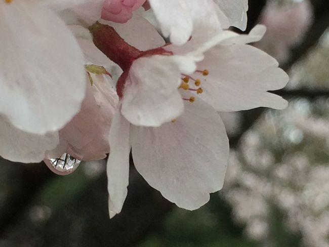 桜 雫 花の雨