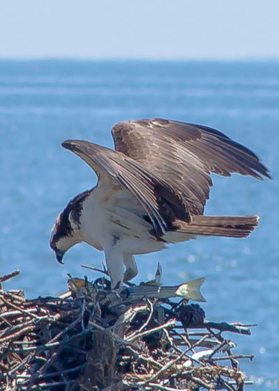 Osprey Eagle caught a Rockfish. Beauty In Nature Bird Photography Birds Close-up Eagle Eagles Focus On Foreground Nature No People Outdoors Plant Sky Tranquil Scene Tranquility Water Bird Birds_collection Fish EyeEm Best Edits Nature_collection Landscape Nature On Your Doorstep Landscape_photography Nature Photography Landscape_Collection
