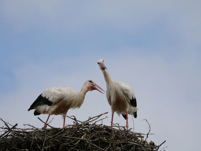 Low angle view of storks perching on bird nest against clear sky