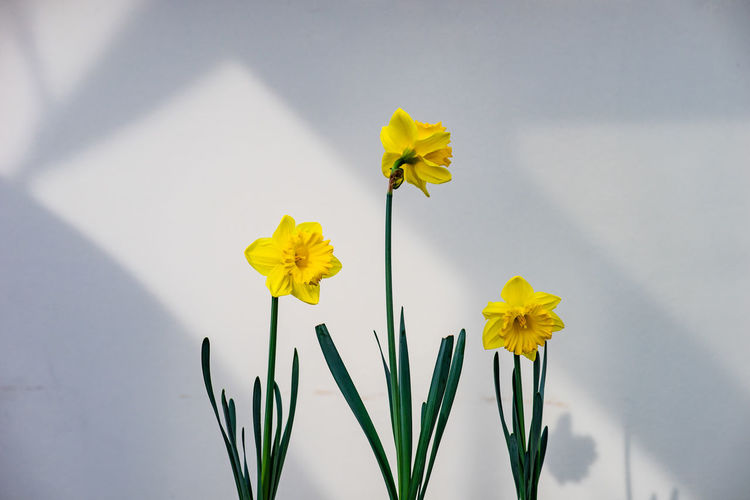 Close-up of yellow flowering plant against wall