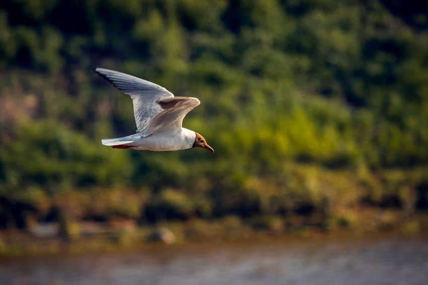 Animal Themes Avian Beauty In Nature Bird Close-up Day Flying Focus On Foreground Mid-air Nature No People Outdoors Selective Focus Spread Wings Wildlife