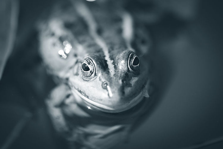 High angle portrait of frog swimming in pond