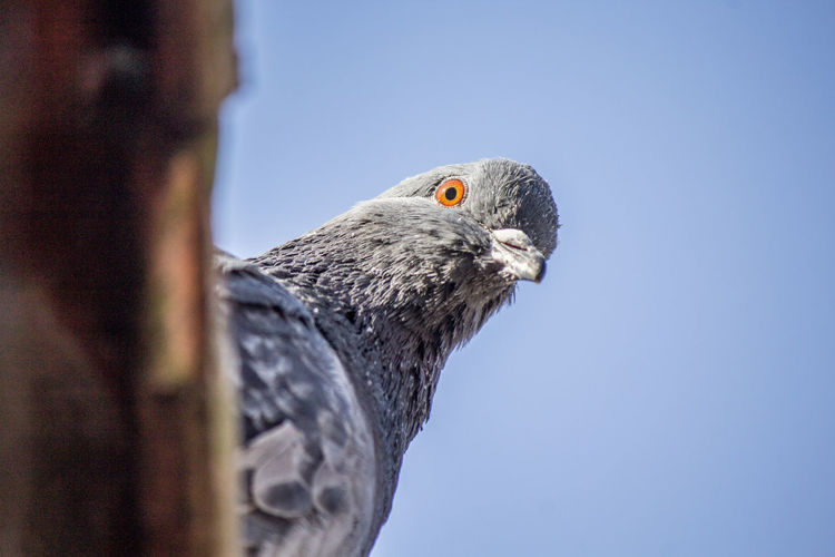 Close-up of pigeon against clear blue sky
