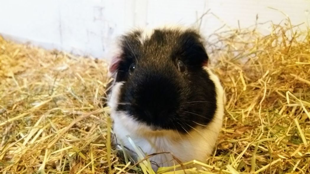 Guinea Pig Animal Themes Close-up Day Domestic Animals Grass Hamster Hay Mammal Nature No People One Animal Outdoors Pets Portrait Rodent