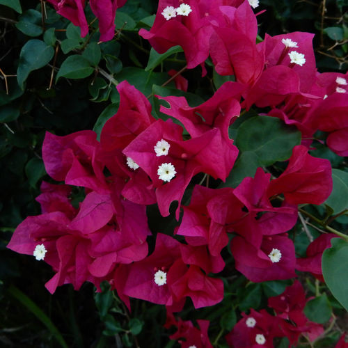 Beauty In Nature Blooming Bougainvillea Flower Close-up Color In Nature Low Light Image Magenta Color Outdoors