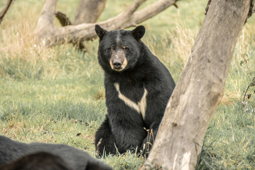 Bearly real Baloo Bear Fear Hunter Winnie The Pooh  American Animals Animal Themes Animals Black Black Bear Close-up Day Fierce Mammal Nature No People North American One Animal Outdoors Real Bear Strong Teddy Bear