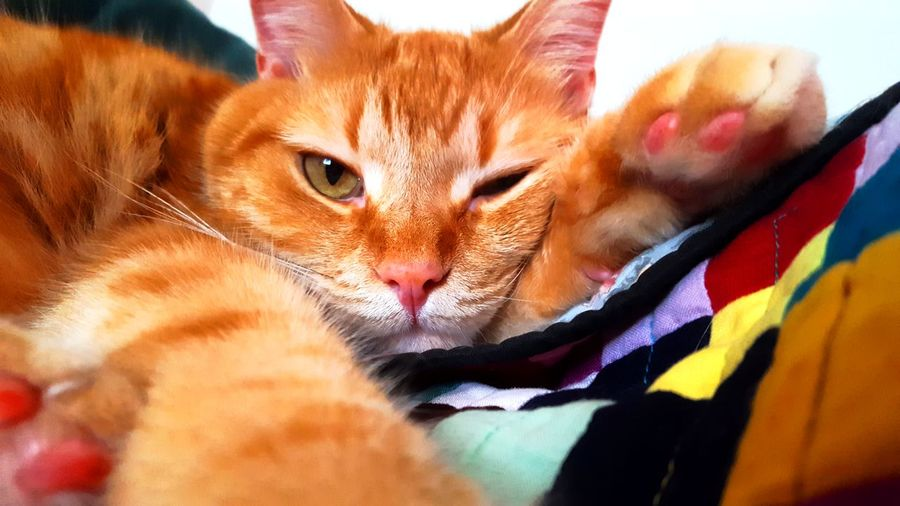 Cozy kitty. Domestic Cat Pets One Animal Looking At Camera No People Ginger Cat Portrait Day Indoors  Close-up Pets Of Eyeem Eeyem Photography Relaxing Moments Kitty EyeEm Photography Photographing Cozy Winking Cat Relaxed Ginger Feline Domestic Animals Animal Blanket Pet Portraits