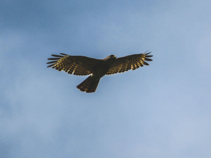 Hawk in nature in flight Animals Hawk In Nature Hawks Hawk Florida Nature Wildlife Wild Hawk Bird Of Prey Bird Spread Wings Flying Mid-air Full Length Animal Themes Sky Hawk - Bird Wild Animal