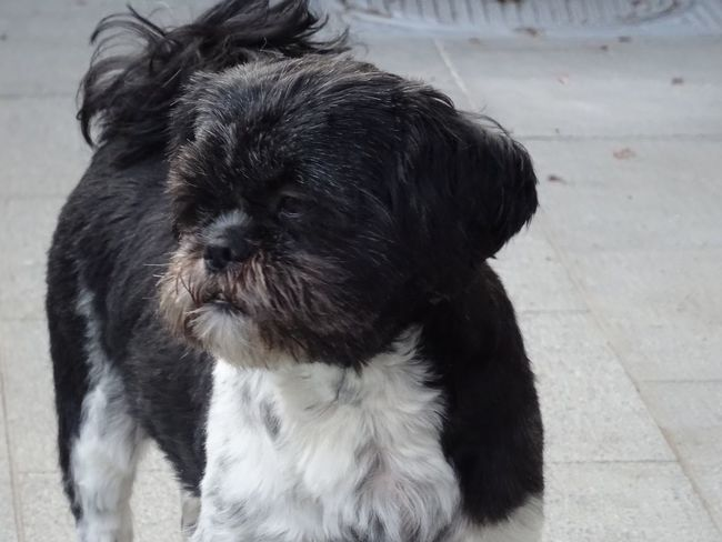 Kayleigh shih-tzu Check This Out Taking Photos Dog Love I Love My Dog zulte In De Buurt Portrait Of A Friend Dog Lover