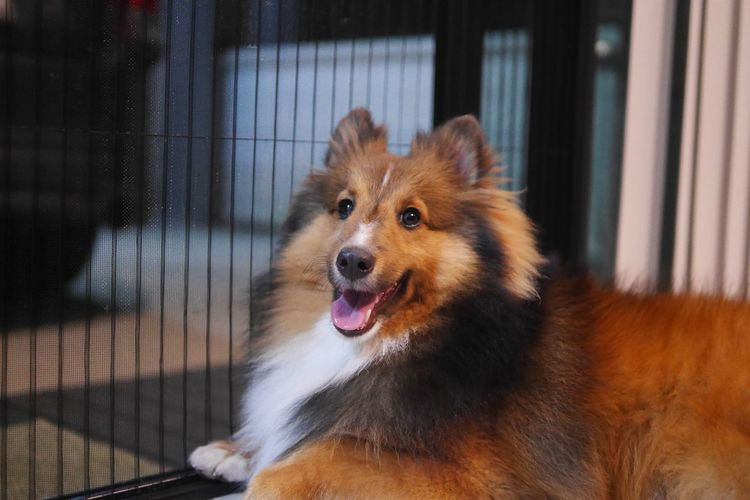 Smiling dog Shetland Sheepdog Sheltie One Animal Animal Animal Themes Canine Dog Vertebrate Mammal Pets Domestic Animals Domestic Looking Looking Away No People Focus On Foreground Close-up Portrait Facial Expression Sticking Out Tongue Animal Body Part