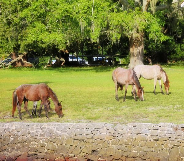 Wild Horses Wild Horses Of Cumberland Island Georgia Tree Togetherness Young Animal Grass Livestock Green Color Horse Grazing Mane Foal