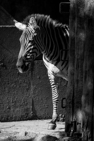 Animal Black And White Close-up Grevy's Zebra Imperial Zebra Mammal Mono Monochrome Nature Wildlife Zebra
