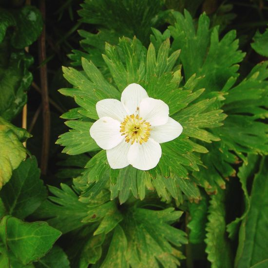 Flower Freshness Fragility Petal Growth Flower Head Leaf Close-up Beauty In Nature Plant White Color Nature In Bloom Blossom Springtime Green Color Day Botany Single Flower Pollen Rebun Island Maximum Closeness