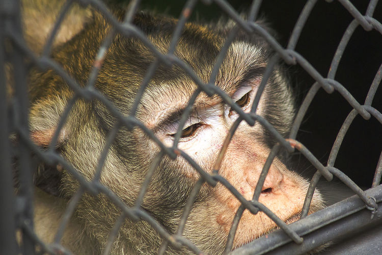 Crab-eating macaque Long-Tailed Macaque Animal Animal Body Part Animal Head  Animal Themes Animals In Captivity Barrier Boundary Cage Chainlink Fence Close-up Crab-eating Macaque Crab-eating Macaques Day Domestic Animals Feline Fence Mammal No People One Animal Pets Vertebrate Zoo