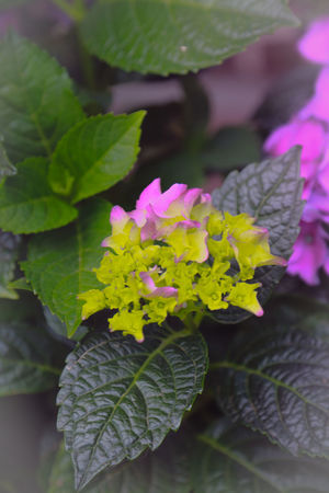 Beauty In Nature Bunch Of Flowers Close Up Close-up Day Flower Flower Head Flowering Plant Fragility Freshness Full Length Green Color Growth Inflorescence Lantana Leaf Nature No People Outdoors Petal Pink Color Plant Plant Part Purple Vulnerability