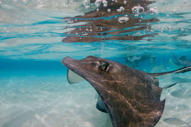 Close-up of stingray swimming in sea