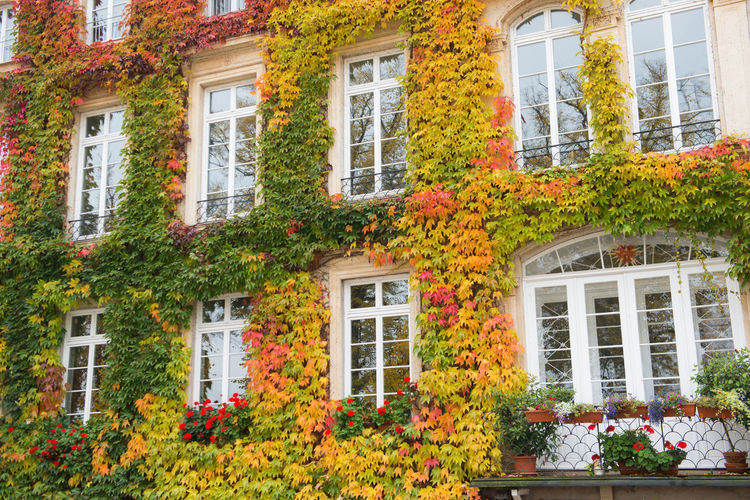 Orange ivy on house with white window Window Building Exterior Architecture Built Structure Plant Building Flower Flowering Plant Residential District Nature No People House Beauty In Nature City Outdoors Day Multi Colored Red Growth Glass - Material Apartment