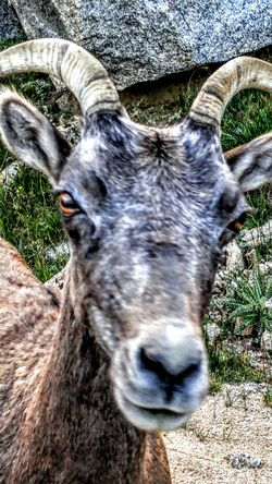 Hello World Mountain Goats Close-up LGG4 Wildlife Nature Colorado