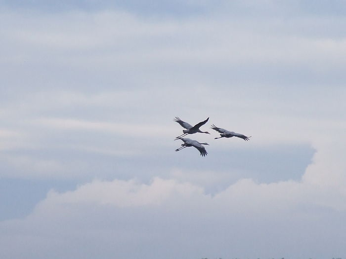 Low angle view of cranes flying against cloudy sky