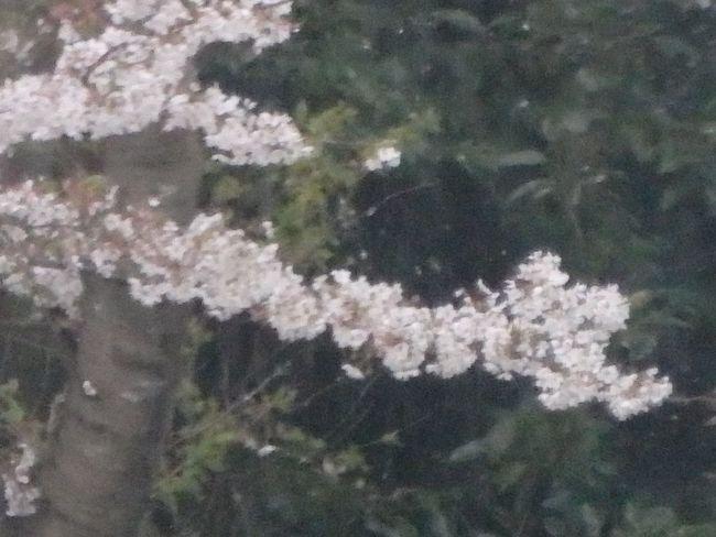 OLYMPUS SH-50 Sakura 桜 Rain Day