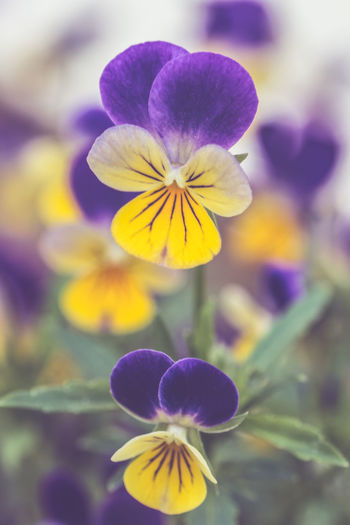 Close-up of purple and yellow flowers blooming outdoors