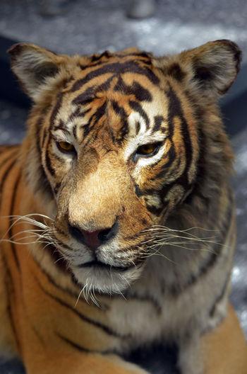 Close-Up Of Tiger At Zoo