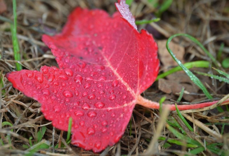 Drop Leaf Wet Close-up Red Water Season  Nature Fragility Weather Growth Beauty In Nature Dew Natural Pattern Freshness Selective Focus Day Plant Vibrant Color Tranquility