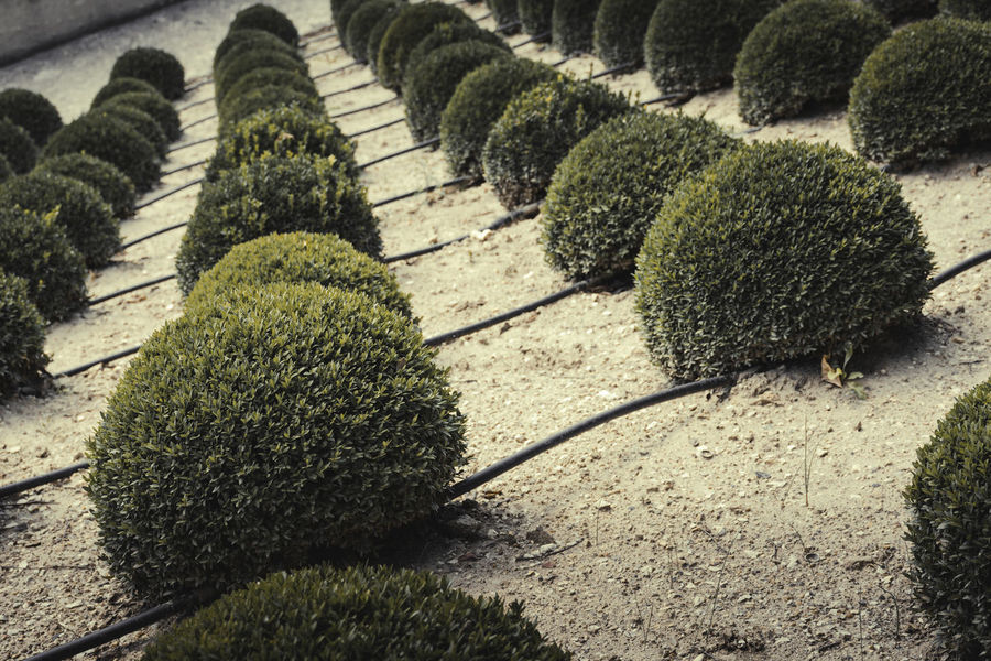 Rows of green spheres. Close-up Composition Convergent Descending Rows From A Tourist Perspective Green Color Green Is The Colour Green Spheres Growth In A Row Nature No People Outdoors Rows Of Trees Sunlight Vegetation Textures Green Bushes Sphere Green Bushes Irrigation Tubes Desaturated