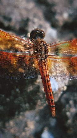 Dragonfly Full Length Water Insect Close-up Animal Wing