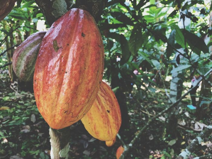 Cacao, Limó Rica Limón Costa Rica Costa Rica Plant Growth Fruit Healthy Eating Plant Part Nature Tree Food