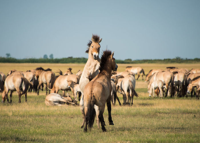 Wild horses in the Hungarian moorland Animal Animal Themes Animals Day Domestic Animals Equus Caballus Przewalskii, Fight Focus On Foreground Grass Horse Large Group Of Animals Livestock Mammal Moorland, Nature Nature, No People Outdoors Play Przewalskii Hoirses Wildlife