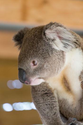 Close-up of koala looking away