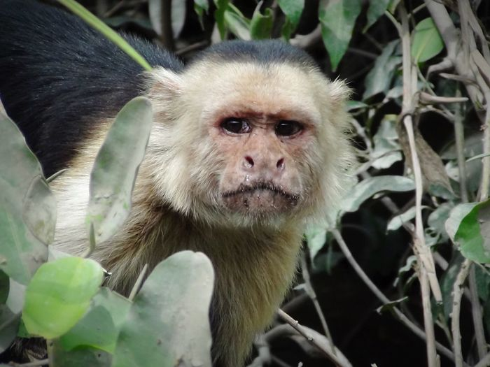 Intense Look Monkey Monkey Close-up Protective Intense Look Jungle Animal Jungle Look-out Lookout Scanning Instinct