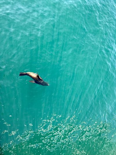 High angle view of aquatic mammal swimming in sea