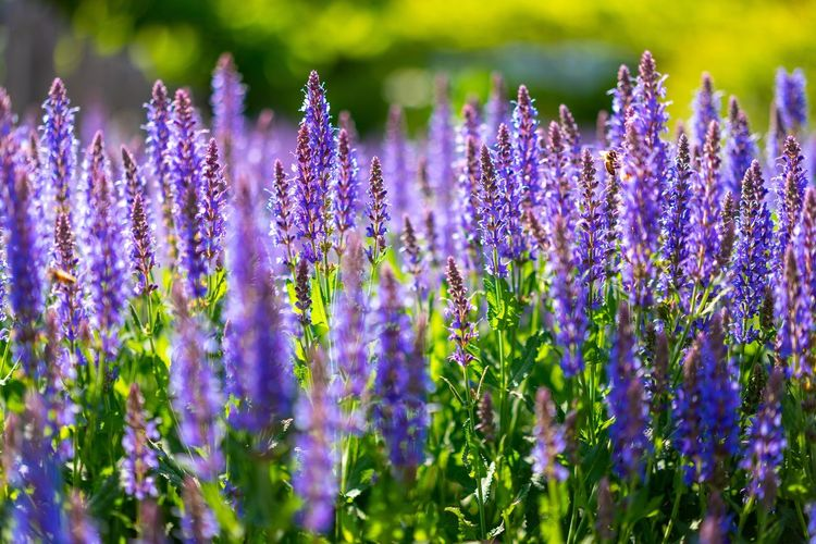 Lavender EyeEm Selects Hello World First Eyeem Photo EyeEm Best Shots Flower Flowering Plant Purple Plant Vulnerability  Growth Beauty In Nature Freshness Nature Lavender Close-up Day No People Field Selective Focus Lavender Colored Flower Head