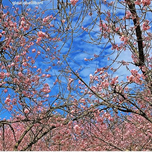 Cherry Trees Tree Flower Blossom Beauty In Nature Nature Outdoors Saopaulowalk Saopaulocity Sao Paulo - Brazil Parque Do Carmo Cherry Blossoms Park Cherry Tree Brazil Nature Photography Tree_collection  Blue