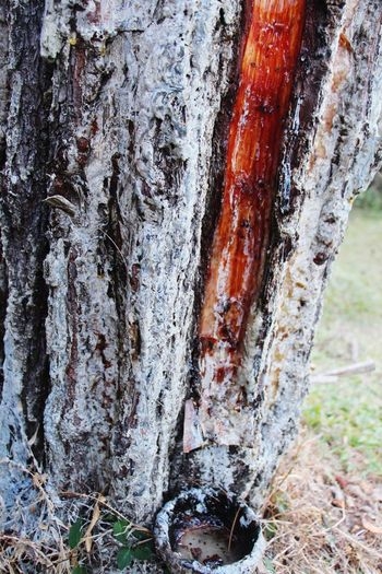 Tree Outdoors Close-up Nature Day No People Rubber Tree Malang, Indonesia Vacations Camping Textured  Bark