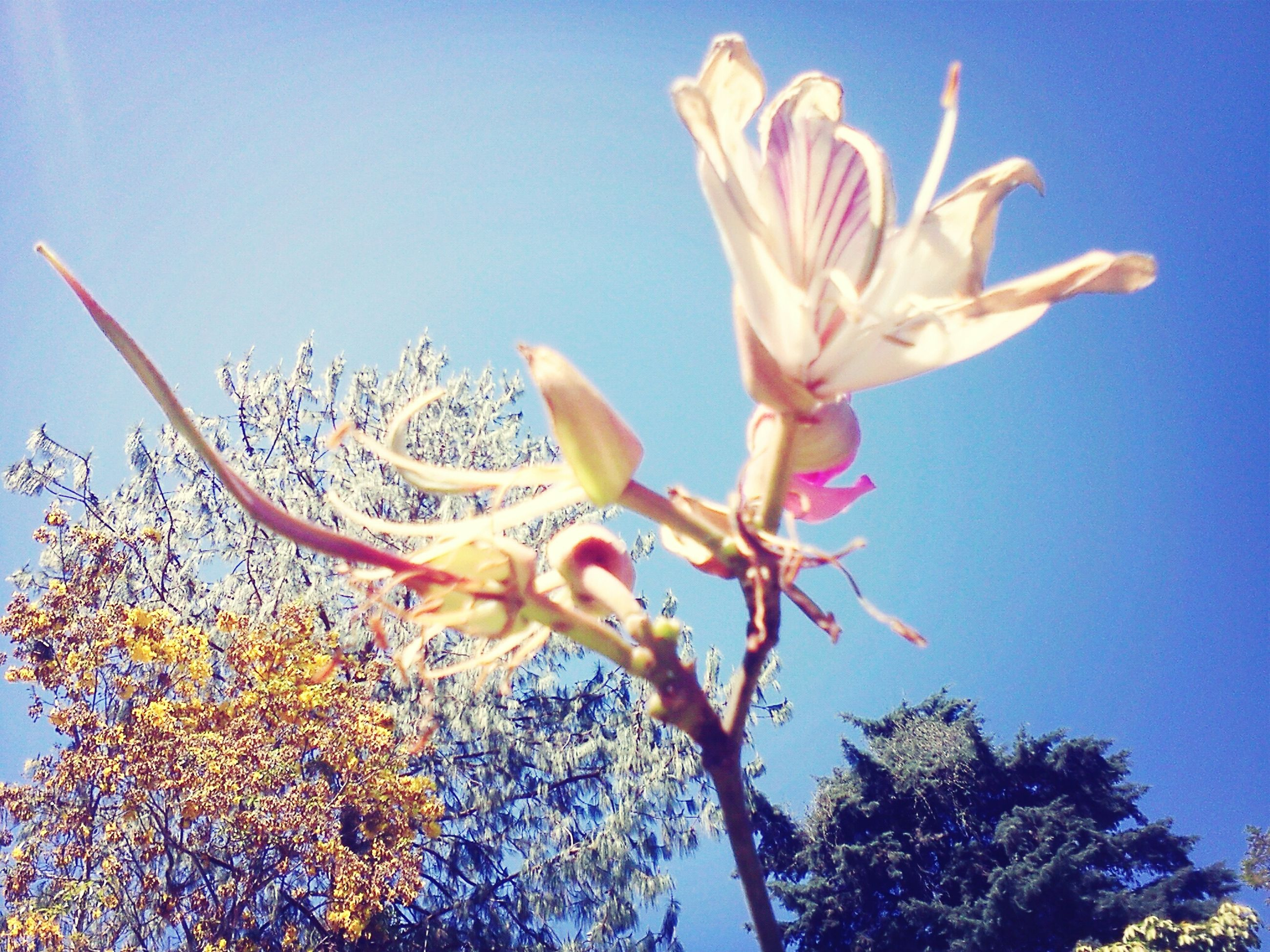 flower, low angle view, clear sky, growth, fragility, blue, freshness, beauty in nature, nature, petal, tree, blooming, branch, sky, plant, day, in bloom, close-up, copy space, no people