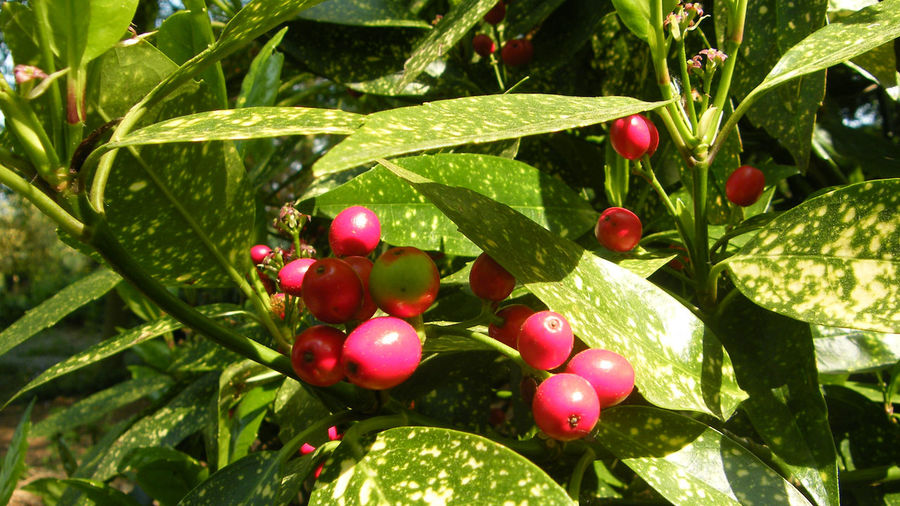 Beauty In Nature Branch Close-up Day Freshness Fruit Garden Garden Photography Green Color Growth Laurel  Laurel Berries Laurel Leaves Leaf Nature No People Outdoors Plant Red Sunlight Tree Variegated Laurel Variegated Leaves