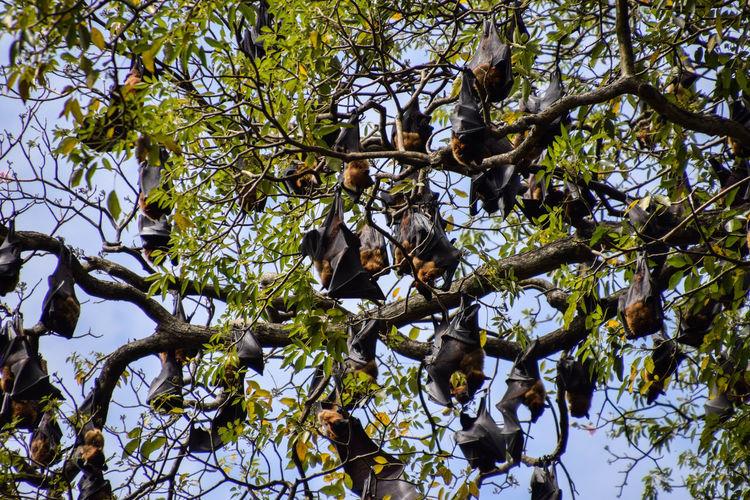 Flying fox Animal Bat Nature Flyingfox Tree Branch Sky Tree Canopy  Treetop Botany